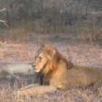 Leoni in accoppiamento al Kruger